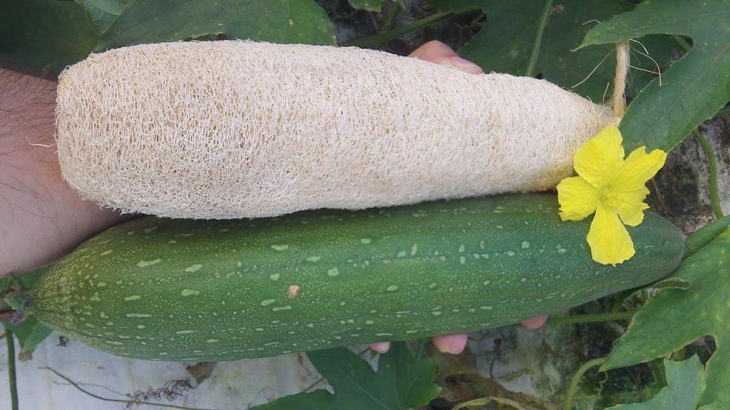Esponja vegetal de luffa